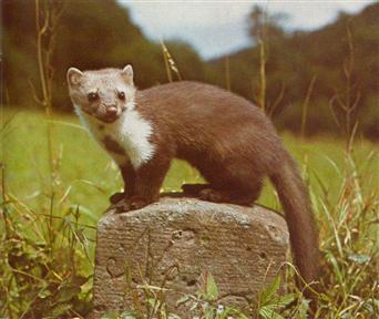zoals de otter das boommarter bunzing hermelijn en wezel hij is ongeveer even groot als een kat maar slanker en staat lager op zijn poten